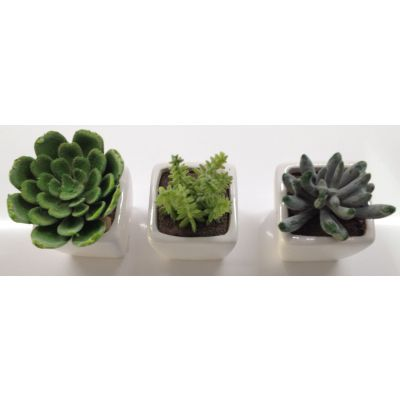 photo Lot de 3 minicactus 3